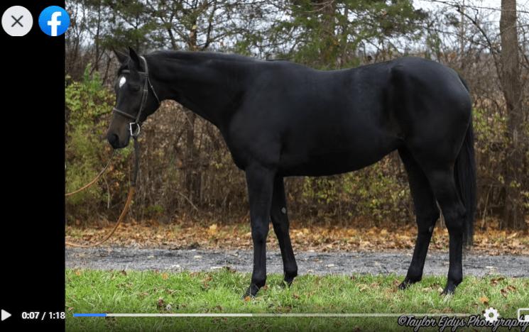 Star of Midnight is a sleek dark bay mare ready for adoption.